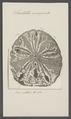Scutella emarginata - - Print - Iconographia Zoologica - Special Collections University of Amsterdam - UBAINV0274 106 05 0018.tif