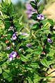 Scutellaria galericulata 2b.jpg