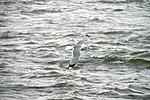 Seagull (14474214295).jpg