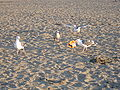 Seagulls feeding on junk food at Ocean Beach 2.JPG