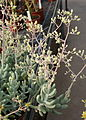 Sedum allantoides.jpg