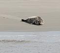 Seehund Einzeltier Medemgrund Cuxhaven 2013.jpg
