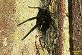 Segestria florentina No. 4 (FG) (33790085046).jpg