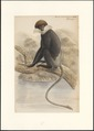 Semnopithecus latibarbatus - 1749-1842 - Print - Iconographia Zoologica - Special Collections University of Amsterdam - UBA01 IZA1000857.tif