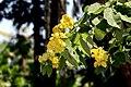 Senna nitida (Cassia antillana) (24720024778).jpg