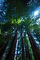 Sequoia sempervirens BigSur.jpg