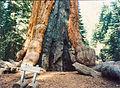 Sequoiadendron2.jpg
