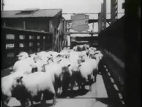 File:Sheep run, Chicago stockyards -.webm