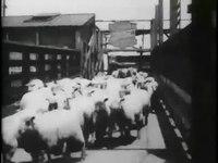 File:Sheep run, Chicago stockyards -.webm