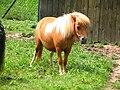 Shetland.pony-05-Castolovice.jpg