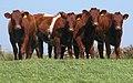 Shorthorn Heifers DSCN2089b.jpg