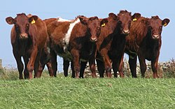 http://upload.wikimedia.org/wikipedia/commons/thumb/b/b8/Shorthorn_Heifers_DSCN2089b.jpg/250px-Shorthorn_Heifers_DSCN2089b.jpg