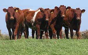 Ethics of eating meat - Shorthorn heifers, a typical multipurpose breed of cattle.