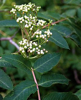 Showy mountain-ash (Sorbus decora) 6192.jpg