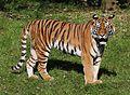 Sibirischer Tiger Panthera tigris altaica Tierpark Hellabrunn-13.jpg