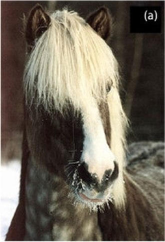 Silver dapple gene - Black silver horse exhibiting strongly diluted long hair with darker roots and flat gray, dappled body color