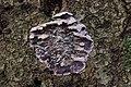 Silver Leaf - Chondrostereum purpureum (28089395569).jpg