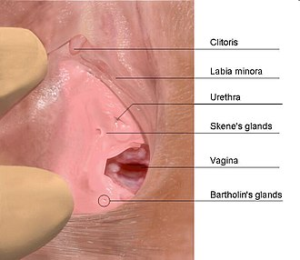 There is substantial evidence that the Skene's gland is the source of female ejaculation. Skenes gland.jpg