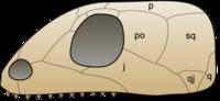 Skull anapsida 1.png