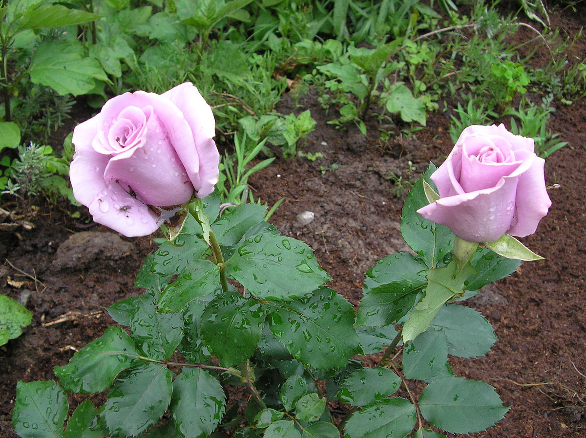 Rosa 'Angel Face' - Wi...