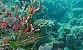 Slender Grouper (Anyperodon leucogrammicus) (8502079097).jpg
