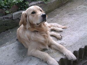 English: Golden Retriever