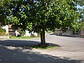 Snět - strom na návsi.jpg