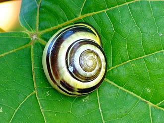 Grove snail - Image: Snail 0075