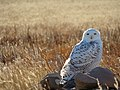 Snowy Owl (8456435176).jpg