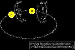 Antiarin - Sodium calcium pump