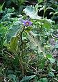 Solanum melongena 4.jpg
