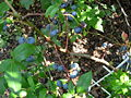 Some blueberries 2007 3.JPG
