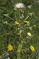 Sonchus asper saint-fuscien 80 19052007 4.jpg