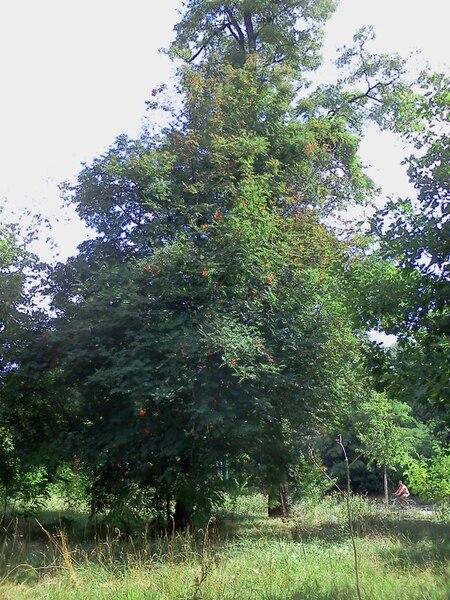 File:Sorbier 花楸树1.jpg