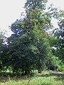 Sorbier 花楸树1.jpg