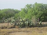 South Texas cactus; Webb County IMG 6060