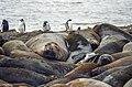 Southern Elephant Seal 05(js).jpg