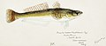 Southern Pacific fishes illustrations by F.E. Clarke 40.jpg