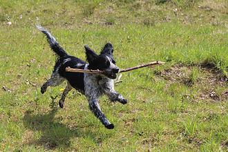 Fetch (game) - A Spaniel fetches a stick