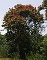 Spathodea campanulata-1.jpg