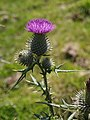 Spear Thistle - geograph.org.uk - 513726.jpg