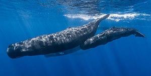 Wildlife of Mauritius - Sperm whales off Mauritius