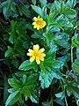 Sphagneticola trilobata ( Asteraceae) 03.jpg