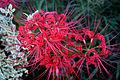 Spider Lily1.jpg