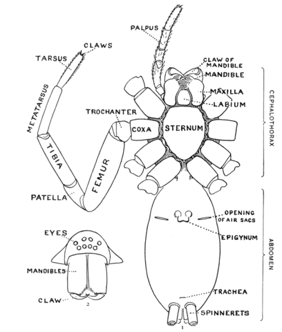 File:Spider external anatomy.png - Wikimedia Commons