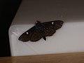 Spilomelinae sp. (40114947915).jpg
