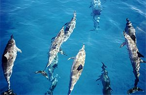 Micronesia - Spinner Dolphins