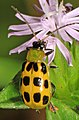 Spotted Cucumber Beetle - Diabrotica undecimpunctata, Prince William Forest Park, Triangle, Virginia.jpg