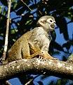 Squirrel monkey- Bonnet House, Fort Lauderdale, Florida (4233059779).jpg