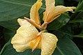 Sri Lanka, Yellow plant in Peradeniya Botanical Gardens.jpg